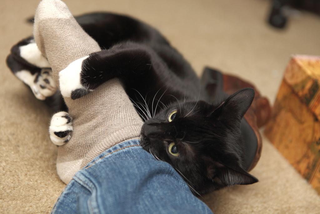 Morso del gatto, come evitarlo