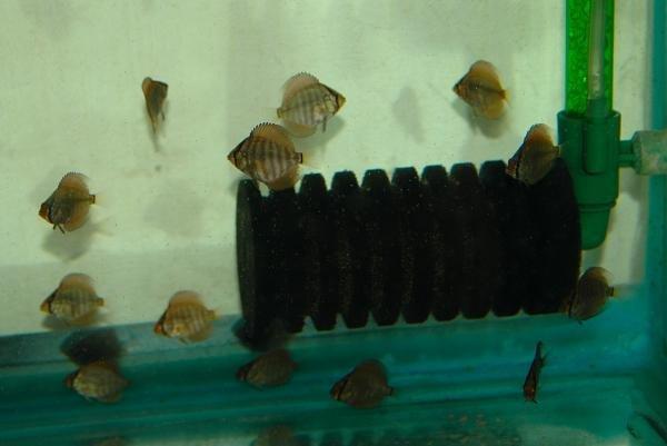 Filtro ad Aria, uso in acquario