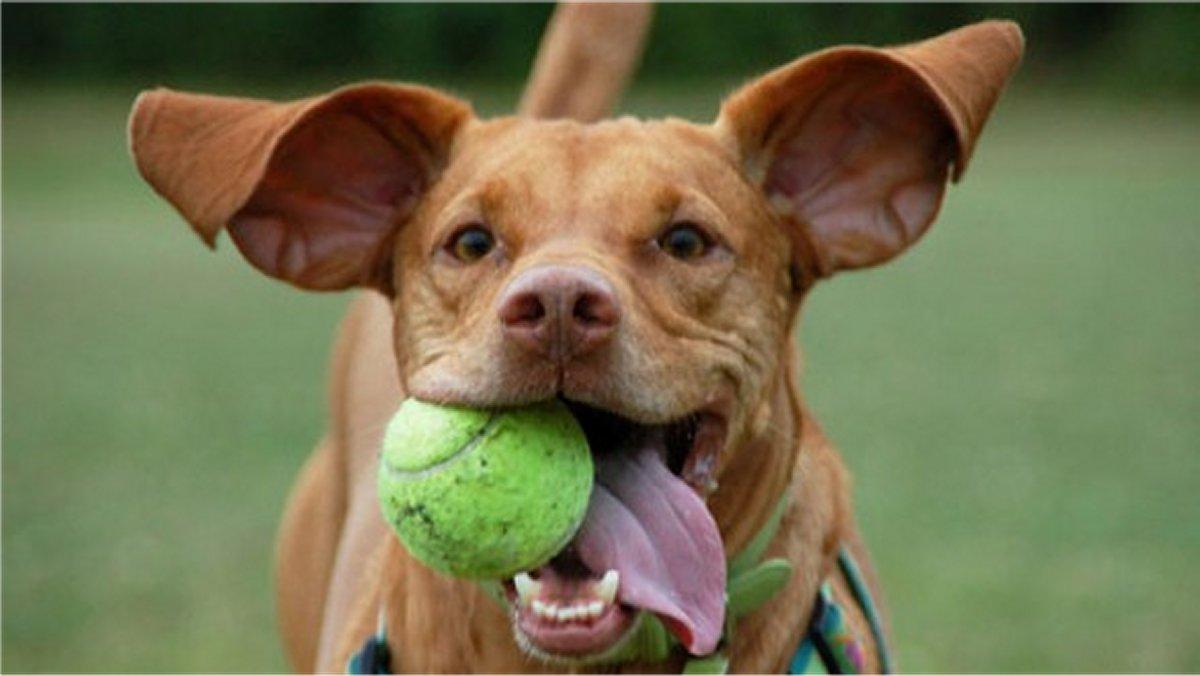 Lanciatori di Palla, gioco per cane con pallina da tennis
