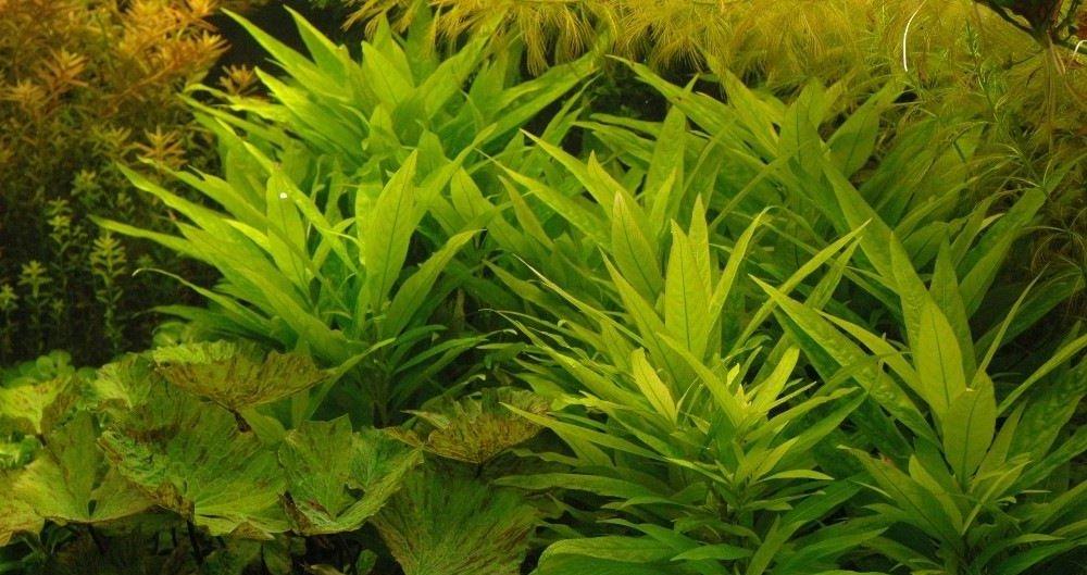 Hygrophila Guianensis bella e facile per il principiante