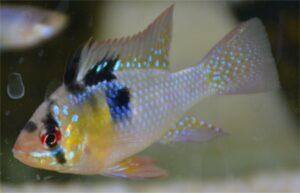 Mikrogeophagus Ramirezi Maschio