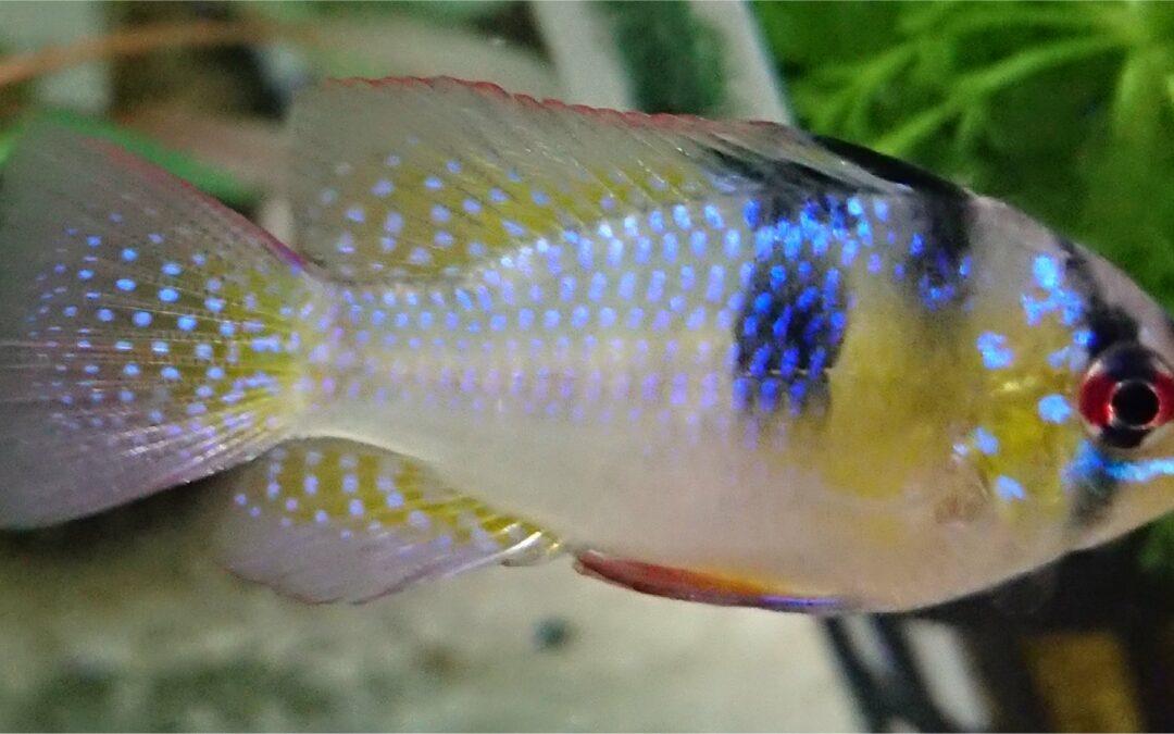 Mikrogeophagus Ramirezi, fascino, istinto e colori