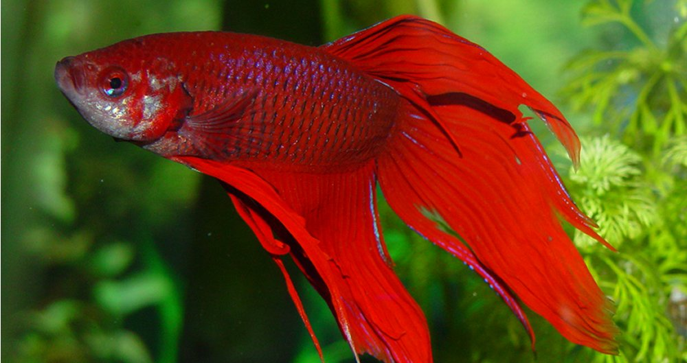 Betta Splendens, Il Combattente