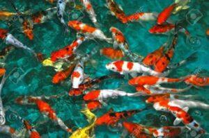 Nutrizione dei Pesci: le Carpe