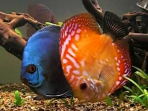 Nutrizione dei Pesci: i Discus
