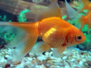 Nutrizione dei Pesci Pesci Rossi
